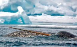 Narwhal whales in a break in the ice